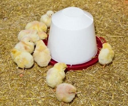 Hønse rekvisita